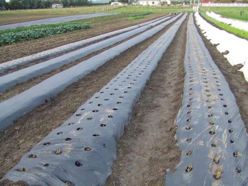 màng pe phủ đất nông nghiệp