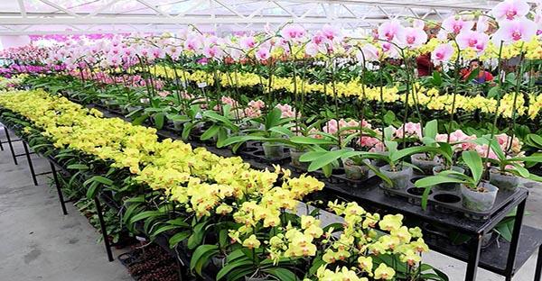 Tấm nhựa polycarbonate làm nhà kính trồng hoa phong lan có tốt không?